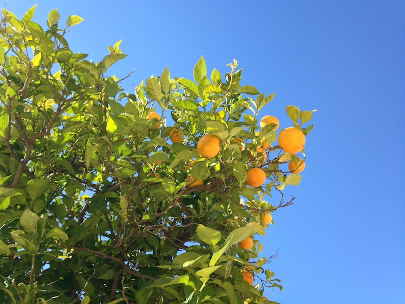 It's hard to beat oranges plucked straight from the tree!