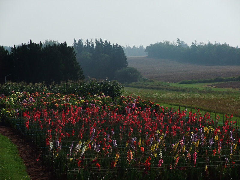 A field of lupins in Prince Edward Island, Canada