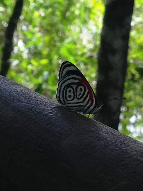 "Anna's Eighty-eight butterfly or ""ocho ocho"", a common sight at Iguazu Falls, Brazil"