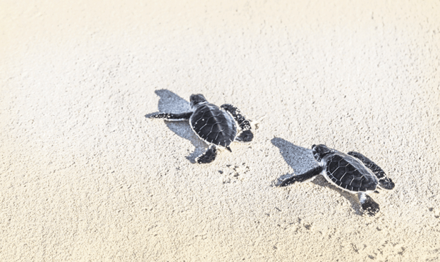 Two turtles walking on beach