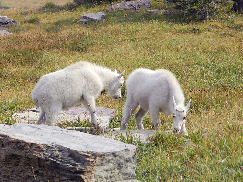 Two mountain goats in Glacier National Park, Montana.