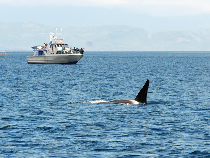 bc orca surfacing as whale watching tourists look on
