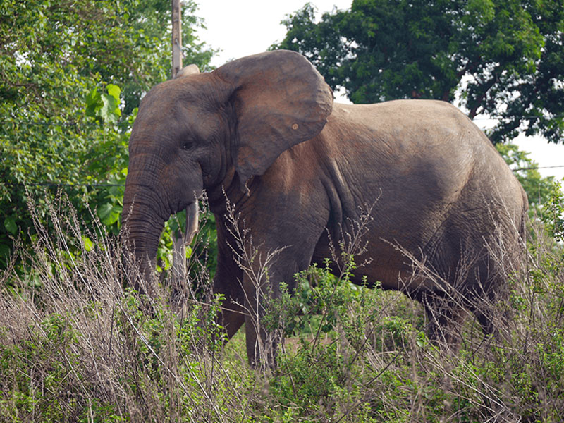 Photo of an elephant with white tusks and a long trunk standing in tall grass.