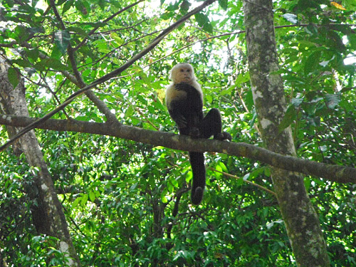 Photo of a white-faced capuchin at Manuel Antonio Park, Costa Rica