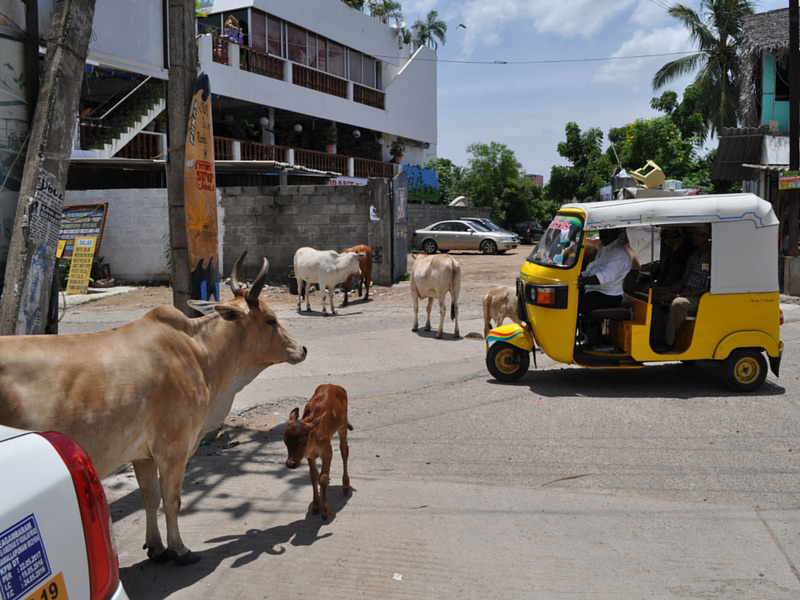 Cows are common on streets in southern india
