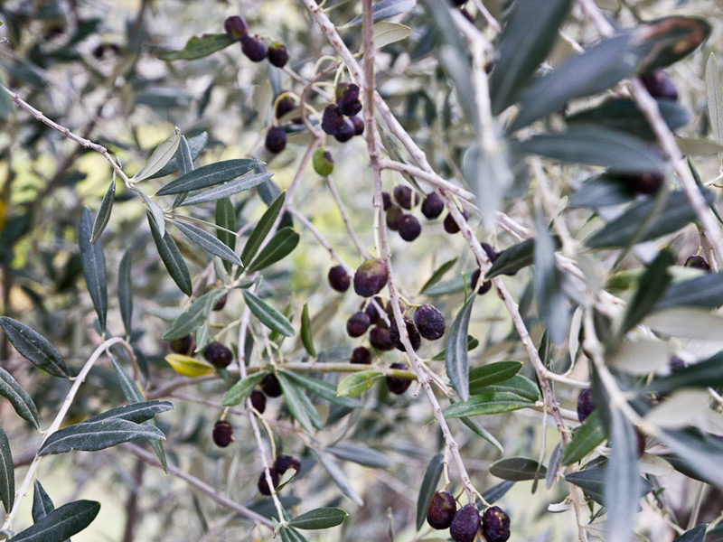 Olives, oil and harvest are all things you won't want to miss in Tuscany.