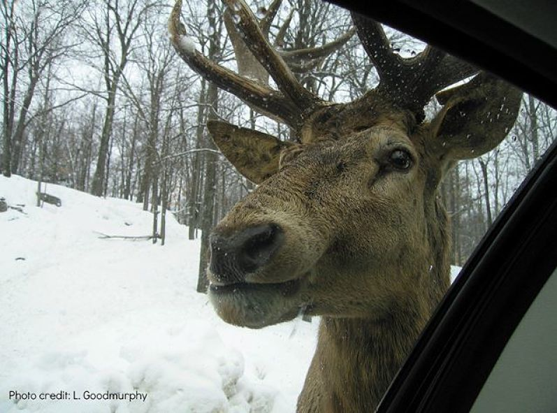 Close-up and detailed photo of head of a reindeer next to a car windshield