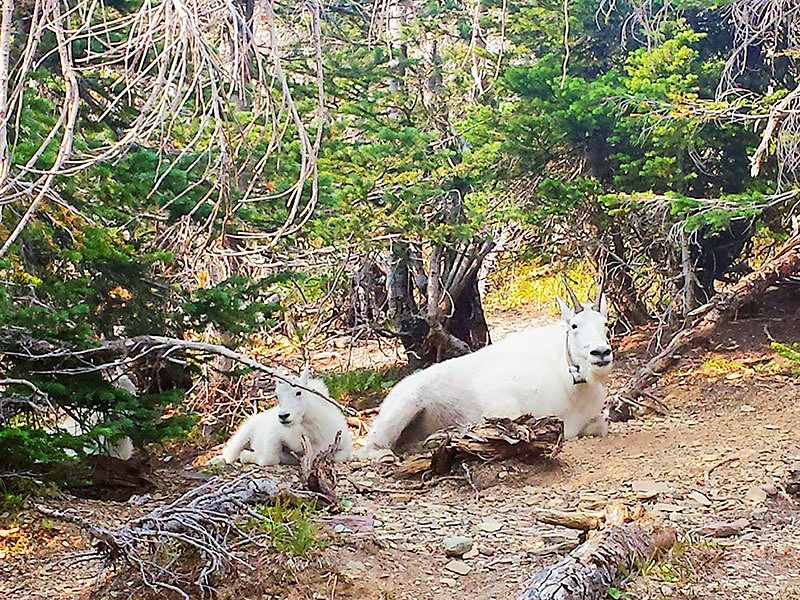 Two mountain goats resting, Montana.