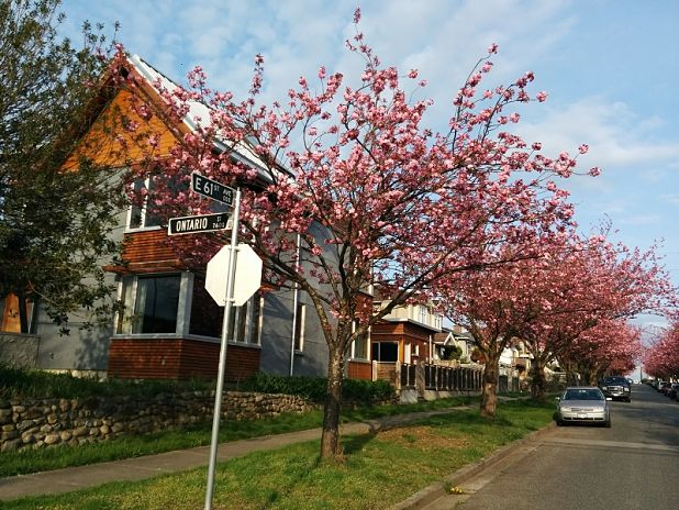 Photo of Cherry blossoms near 61st and Ontario Street in Vancouver, BC.