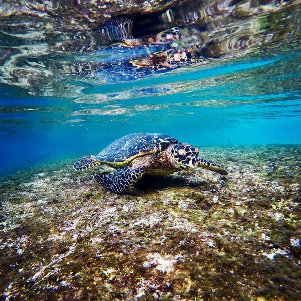 swimming turtle in Barbados