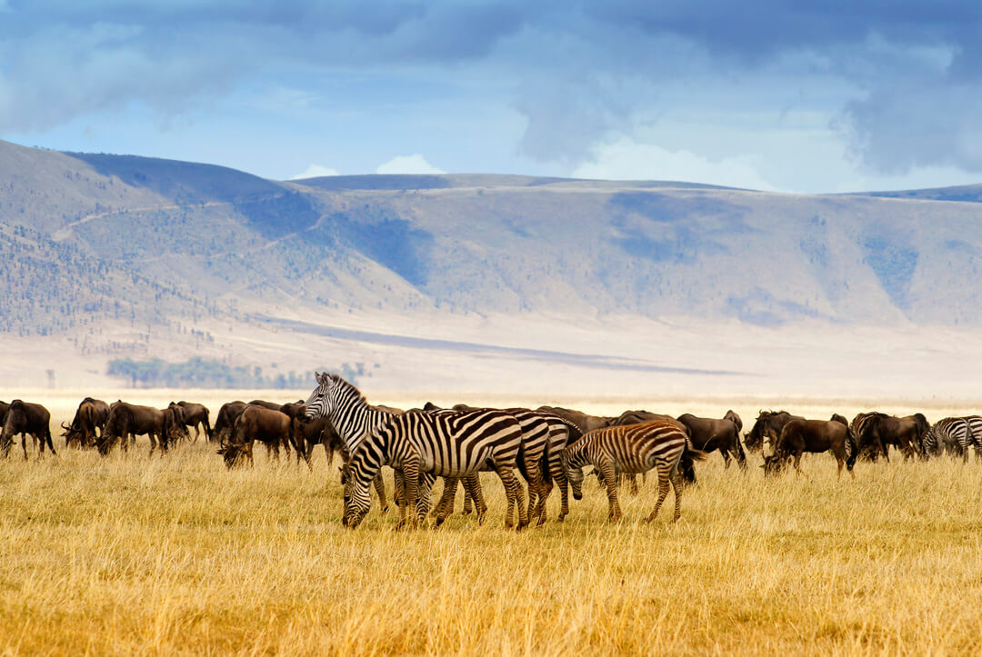 Wildebeest and zebra grazing in the Ngorongoro Crater in Tanzania.