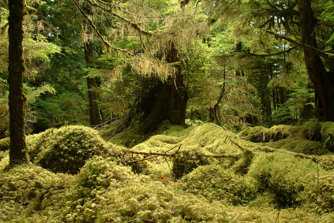 """Mossy forest and stumps bathed in soft light. Location: Windy Bay, Gwaii Haanas National Park, British Columbia, Canada."""