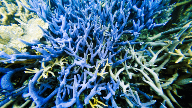 Blue coral Great Barrier Reef